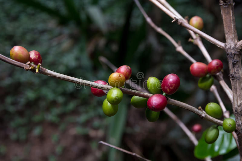 Download Costa Rica Red And Green Coffee Berries Stock Photo - Image: 83721351