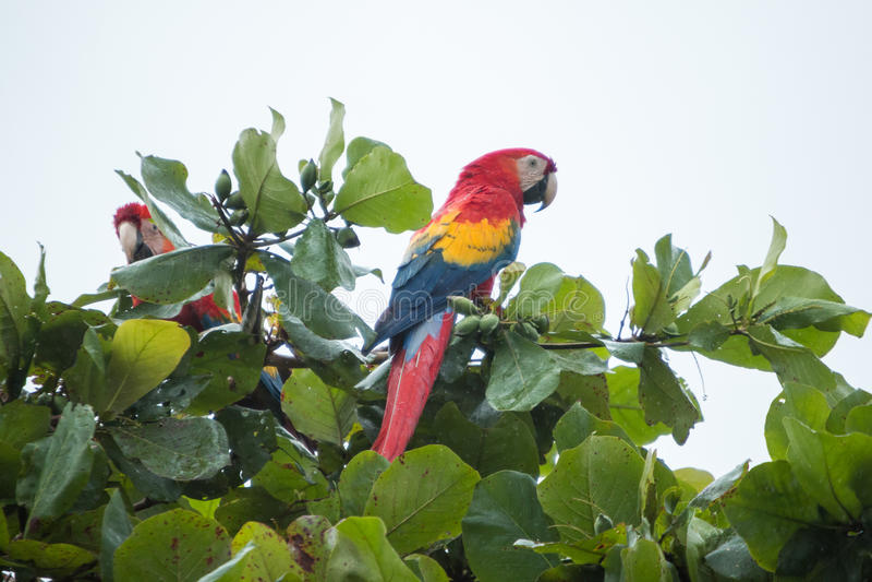 Costa Rica scarlet macaws. Lapa roja stock image