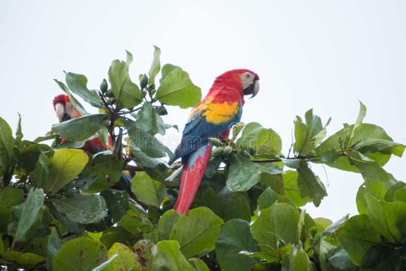 Costa Rica scharlakansrött aror fotografering för bildbyråer