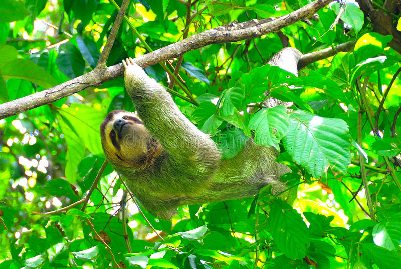 Costa Rica Sloth. A sloth resting on a tree in Manuel Antonio National Park, Costa Rica