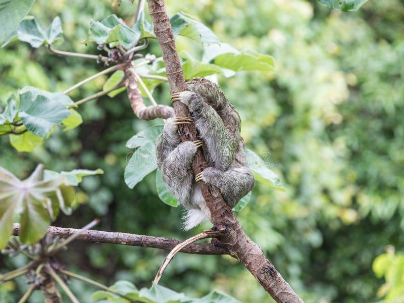 Costa Rica Sloth In een Boom stock afbeelding