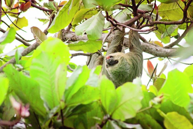 Costa Rica Three Toed Sloth sob a tampa do dossel que aprecia a opinião Isla Ocoluita imagens de stock