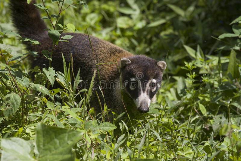 Costa Rican Coati royalty free stock image