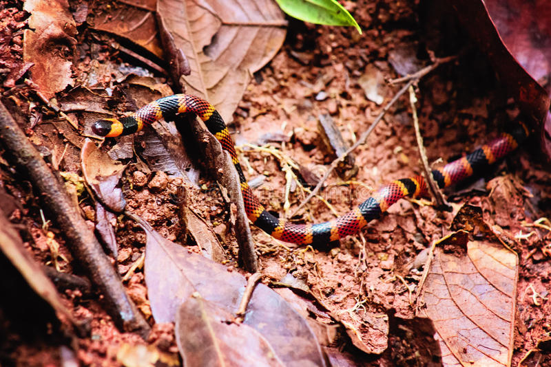 Costa Rican Coral Snake imagem de stock