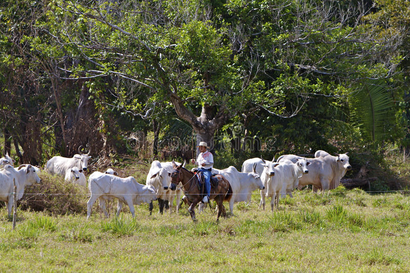 Costa Rican Cowboy images libres de droits