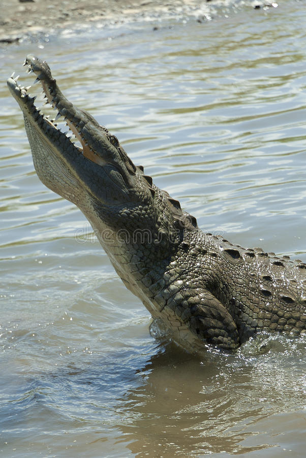 Crocodile in the Tarcoles River royalty free stock photos