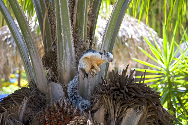 Costa Rican Eichhörnchen stockfoto
