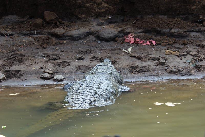 Costa Rican krokodyl fotografia royalty free