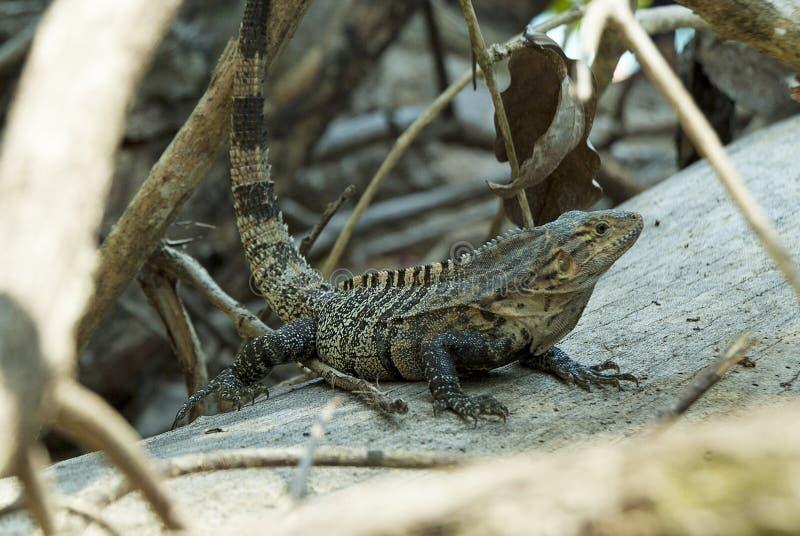 Costa Rican Lizard stock photo
