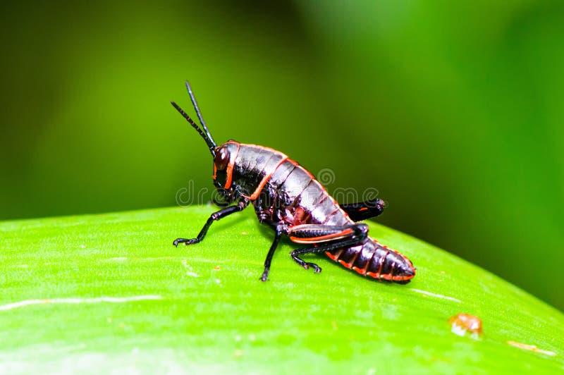 Costa Rican locust royalty free stock image