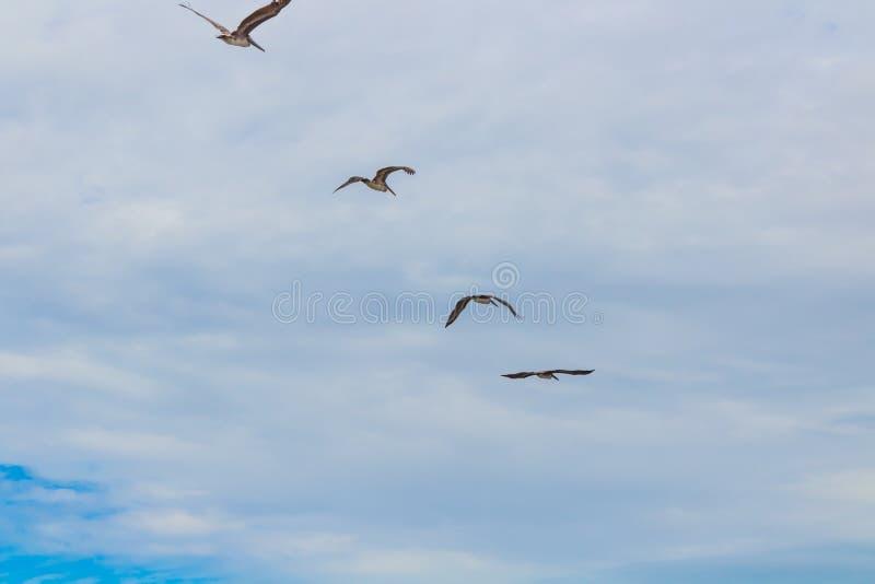 Costa Rican pelikany obrazy royalty free