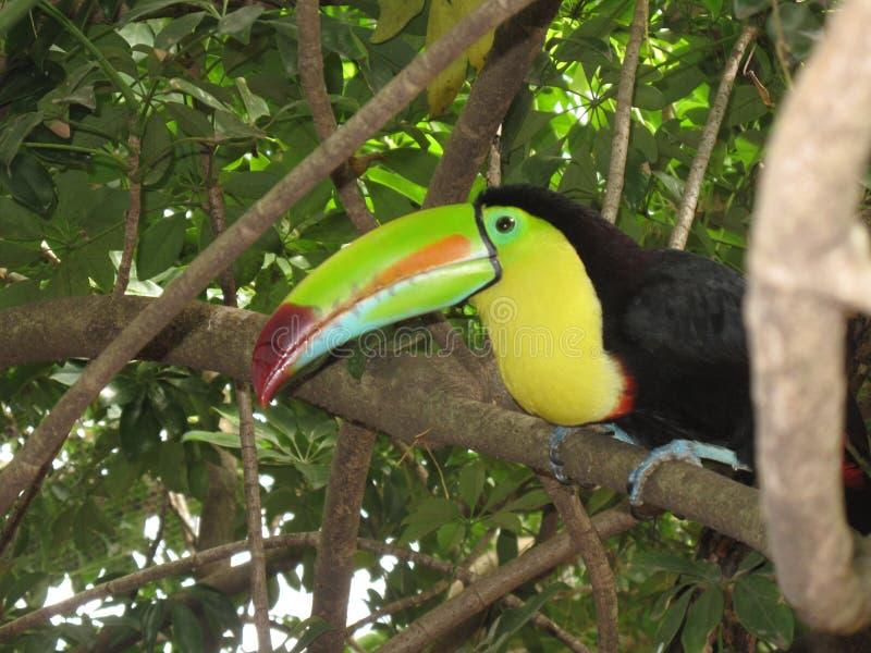 Costa Rican pieprzojad fotografia stock
