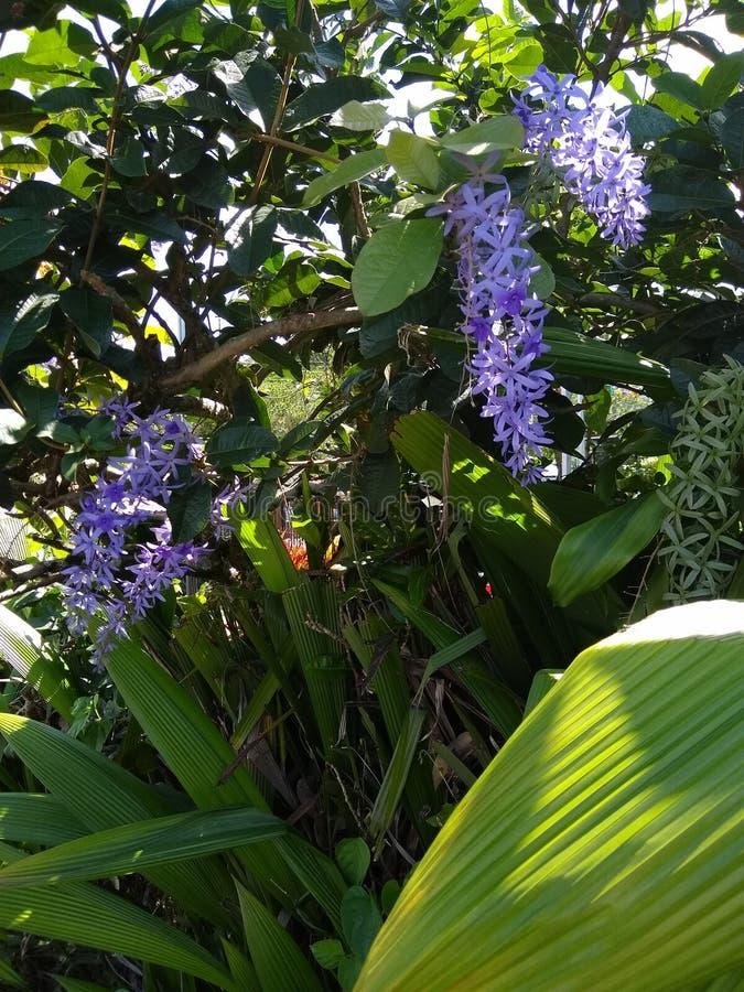 Costa Rican Queen & x27; flores da grinalda de s foto de stock royalty free