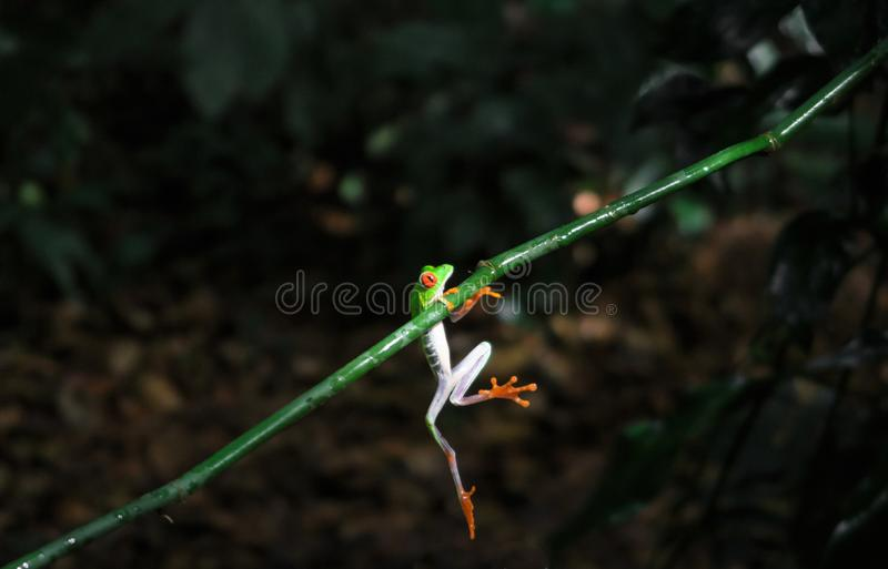 Costa Rican Red Eyed Tree Frog Agalychnis callidryas. Frogs Heaven, Costa Rica, Central America stock photography