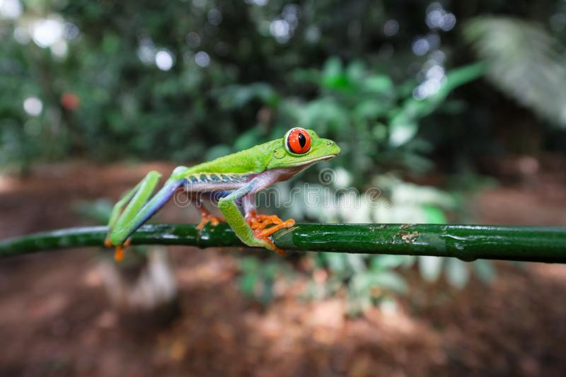 Costa Rican Red Eyed Treefrog Agalychnis callidryas on a tree branch. Frogs Heaven, Costa Rica, Central America stock photo