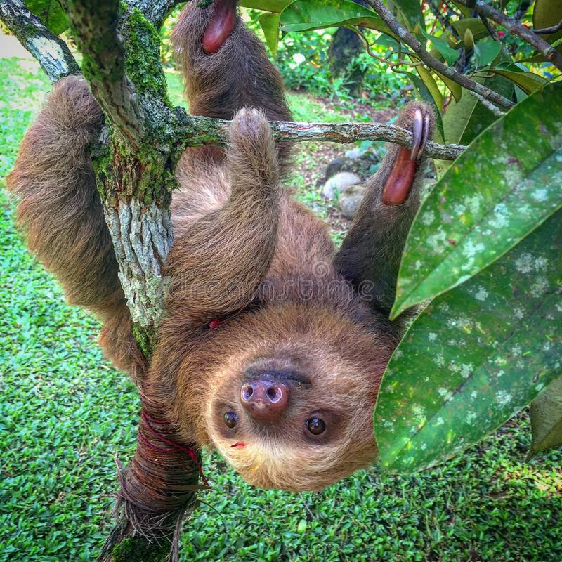 Costa Rican Sloth. A sloth hangs upside down from a branch near Fortuna, Costa Rica stock photography