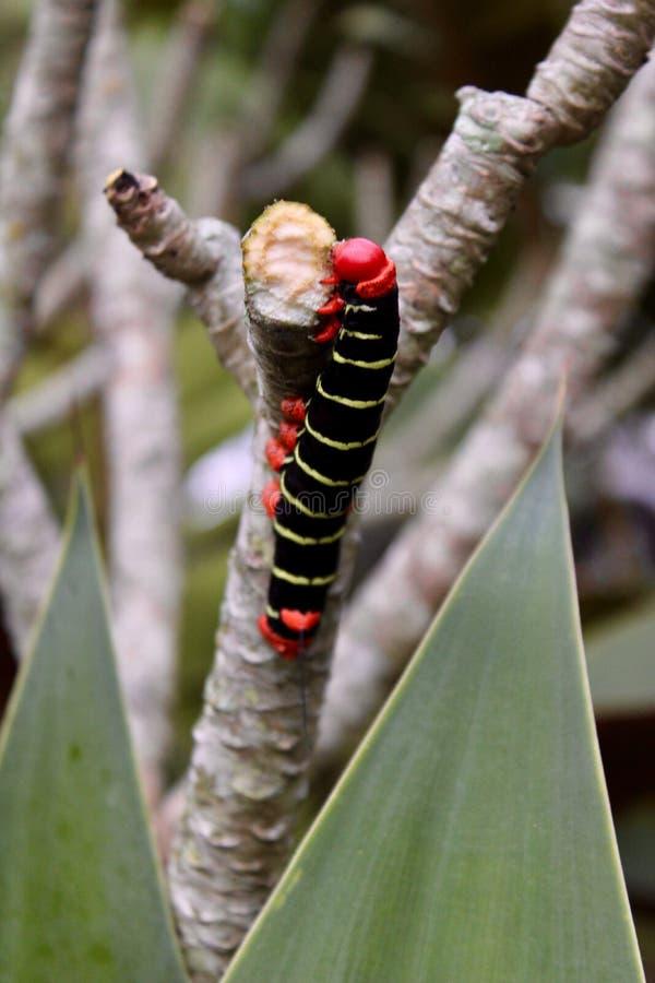 Costa Rican Sphinx Caterpillar photos libres de droits