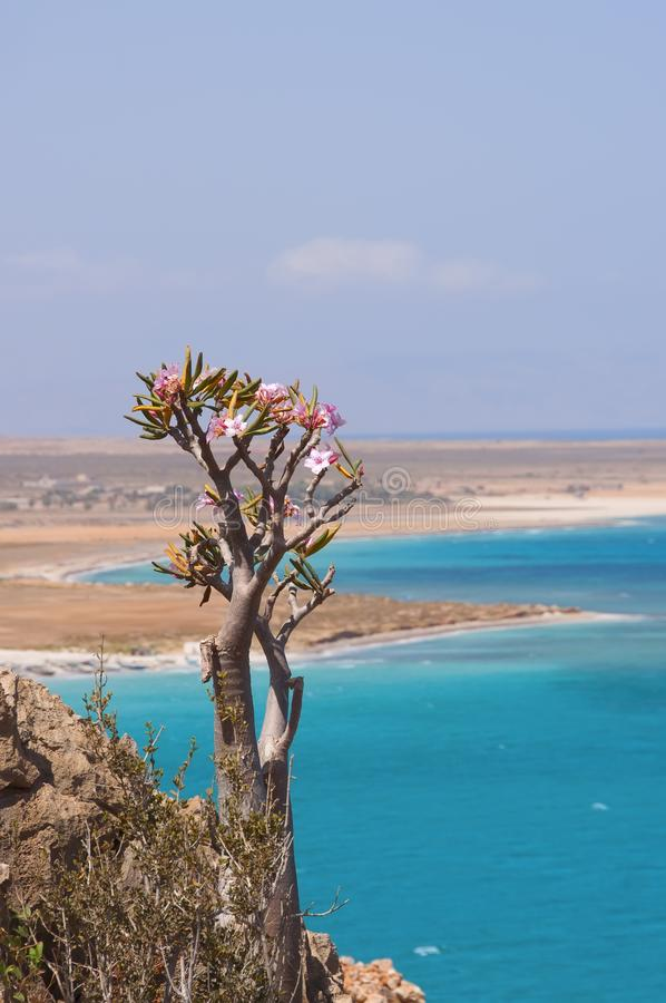 Costa rocciosa selvaggia dell'oceano verde smeraldo e degli alberi endemici di fioritura della bottiglia yemen isola della socotr immagini stock libere da diritti