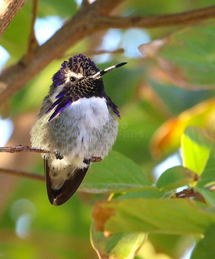Costas kolibri i Costa Rica arkivfoton