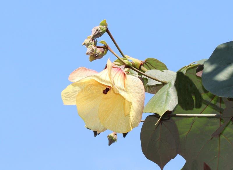 Costeggi l'albero del cotone o l'albero giallo della malva di mattina Di mattina i fiori fioriranno nel giallo E nel pomeriggio d immagine stock libera da diritti
