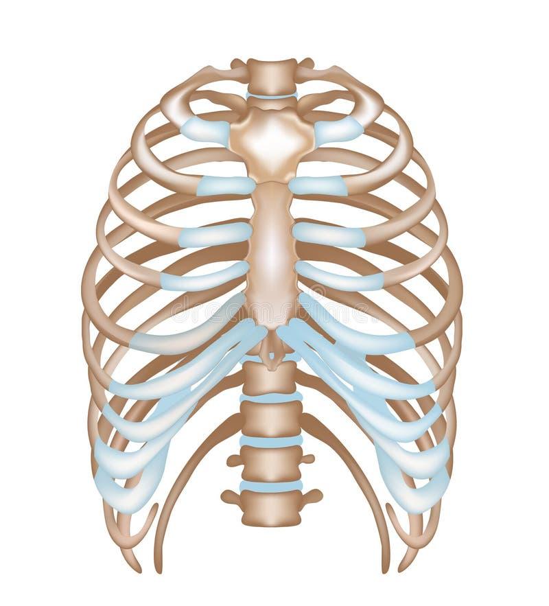 Costillas del tórax, esternón, vértebra stock de ilustración