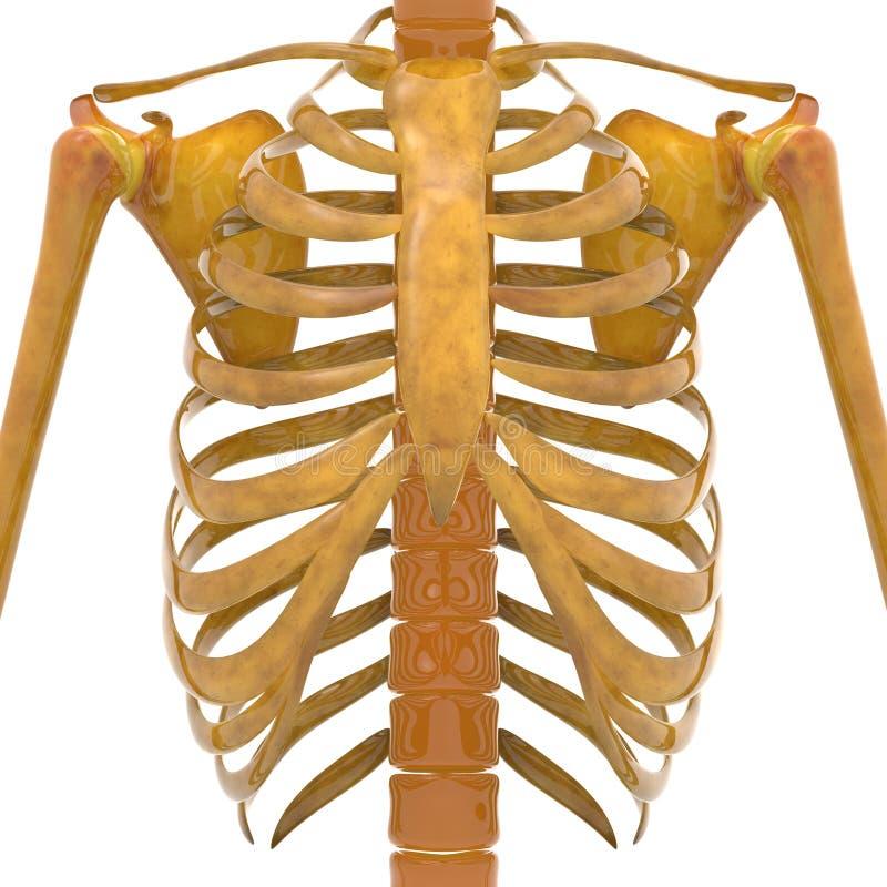 Costillas humanas con los huesos del omóplato libre illustration