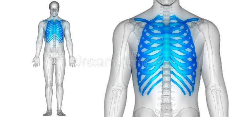 Costole di anatomia di dolori articolari dell'osso del corpo umano illustrazione vettoriale