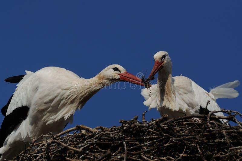 Costruzione del nido da Stork fotografie stock libere da diritti