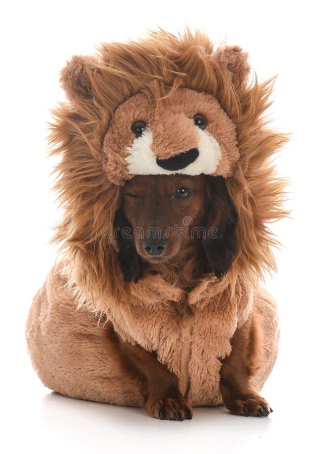 Costume d'uso del leone del bassotto tedesco miniatura immagini stock libere da diritti