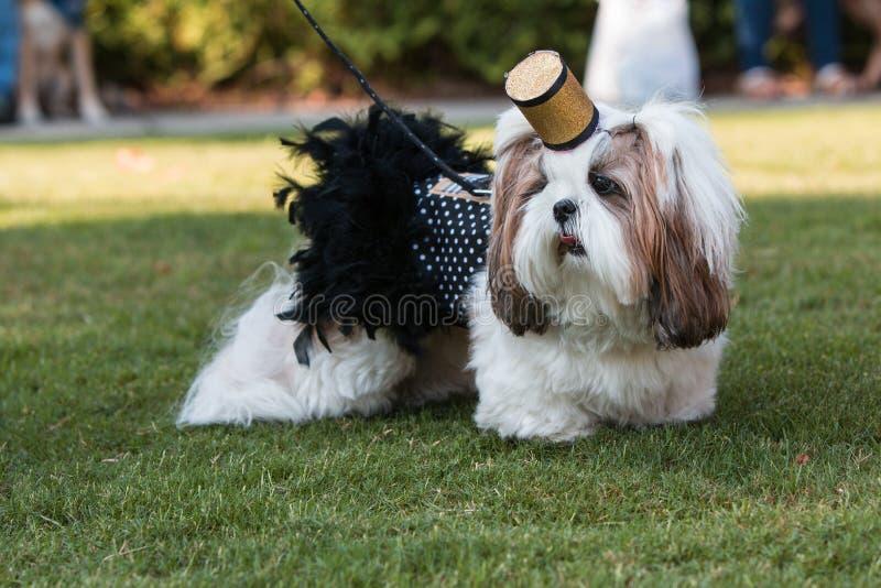 Costume de Shih Tzu Wears Cigarette Girl au défilé d'animal familier de festival photographie stock libre de droits