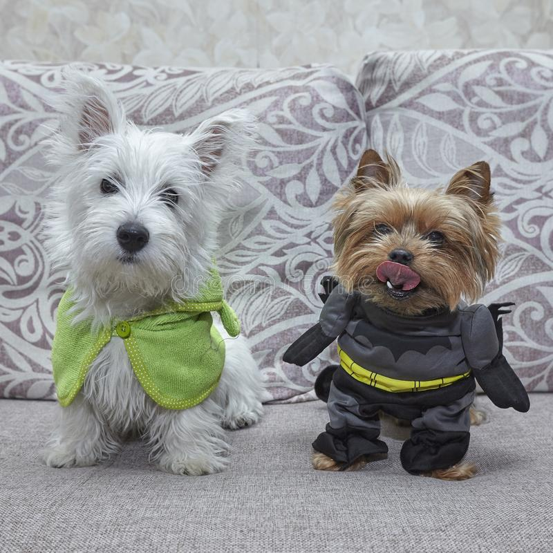 Costume de super héros de chien sur le lit Terrier de Yorkshire et chiot du blanc des montagnes occidental photographie stock libre de droits