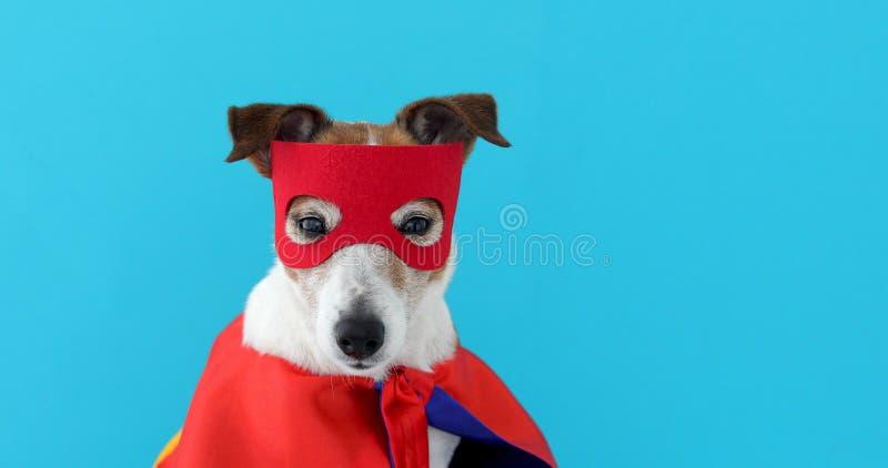 Costume dell'eroe eccellente di russell della presa del cane immagine stock
