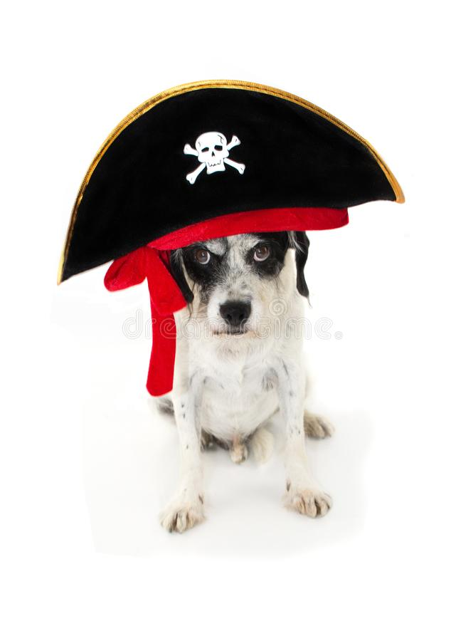 COSTUME DRÔLE DE PIRATE DE CHIEN DE HALLOWEEN D'ISOLEMENT CONTRE BACKGR BLANC photographie stock libre de droits