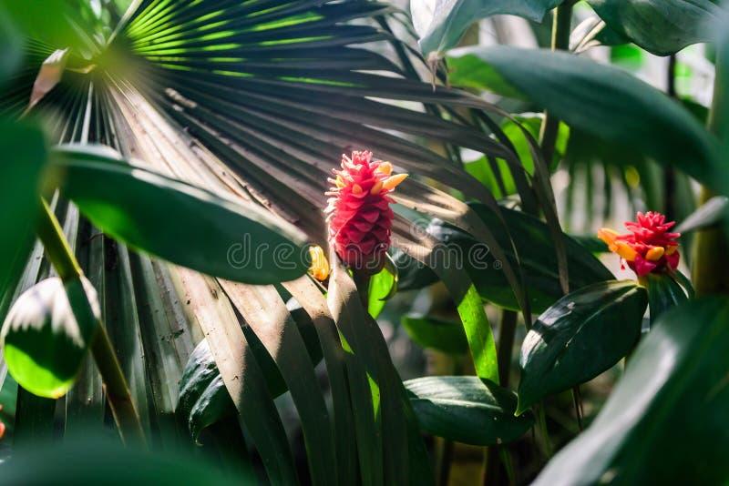 Costus Comosus var. Bakeri - Plant royalty free stock photo