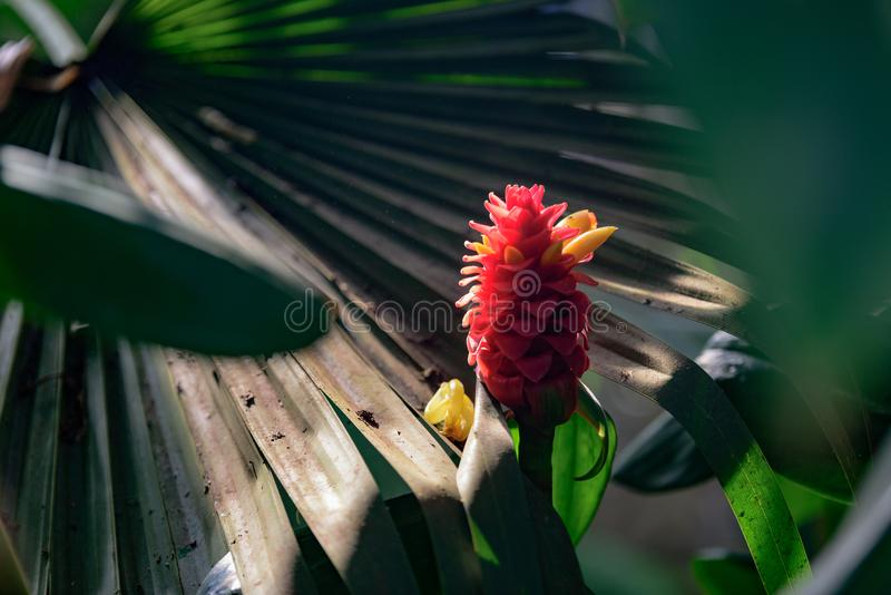 Costus Comosus var. Bakeri - Plant royalty free stock photo