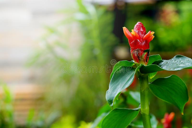 Costus speciosus, Indian Head Ginger in green tropical garden background. Have some space for write wording stock photo