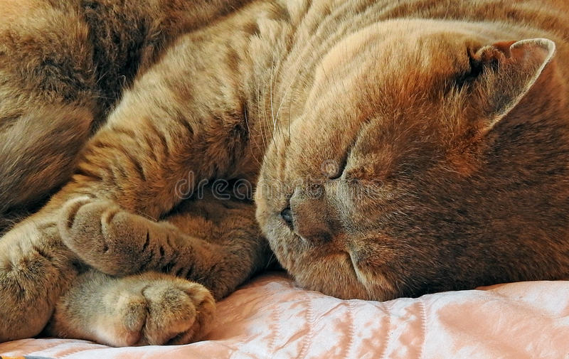 Cosy cat sleeping. Photo of a cosy pedigree cat sleeping with her paws tucked in for comfort june 2017 stock image