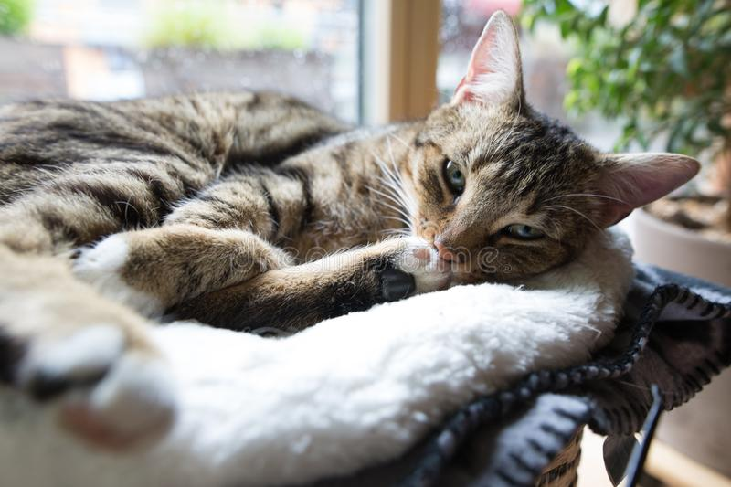 Cosy tiger cat. In comfortable position while raining outside royalty free stock photo