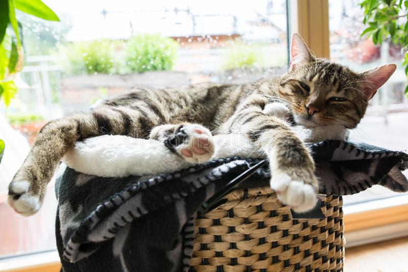 Cosy tiger cat. In comfortable position while raining outside royalty free stock images