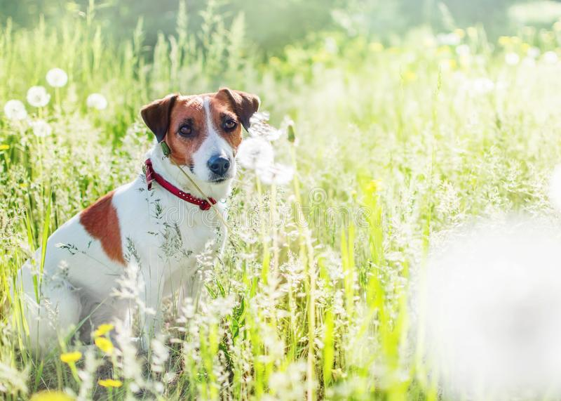 Cote dog jack russel terrier sitting in dandelions field and looking into camera at summer sunny day. Portrait of young royalty free stock photos
