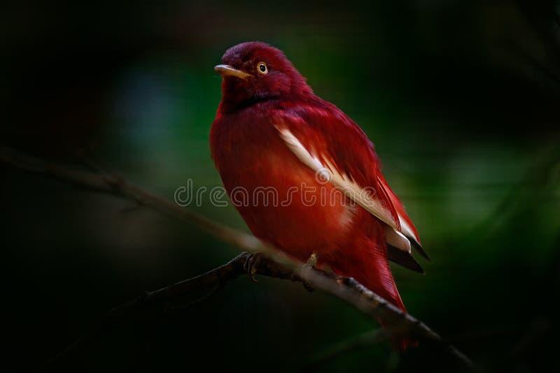 Cotinga do Pompadour, punicea de Xipholena, pássaro tropico raro exótico no habitat da natureza, obscuridade - floresta verde, Am foto de stock