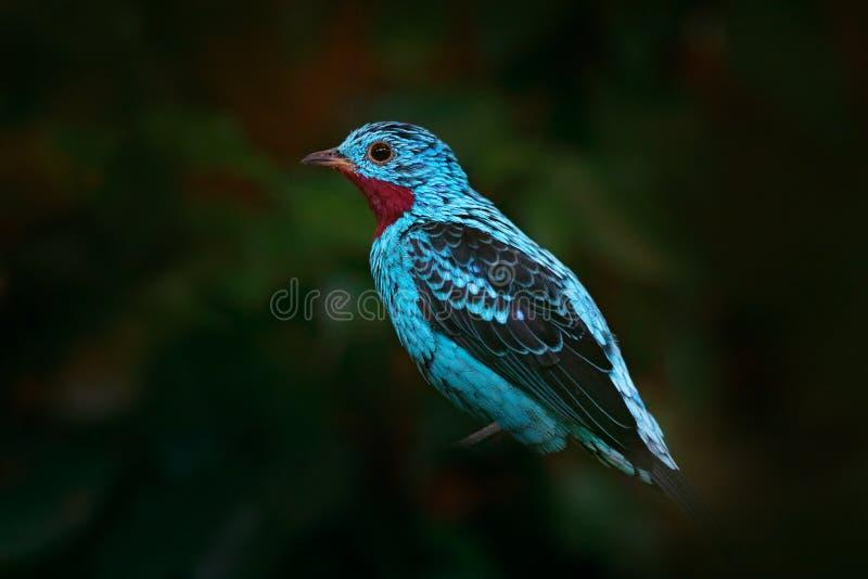Cotinga Spangled, cayana di Cotinga, uccello tropicale raro esotico nell'habitat della natura, foresta verde scuro, Amazon, Brasi fotografia stock libera da diritti