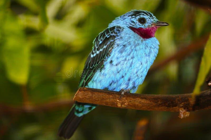 Cotinga spangled turchese-blu maschio con una gola vino-rossa che si appollaia su un ramo fotografia stock
