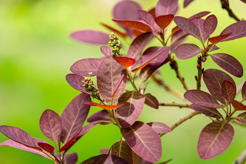 Cotinus coggygria蓝紫色漆树cotinus优美的分支,与年轻紫色叶子的欧洲smoketree 库存图片