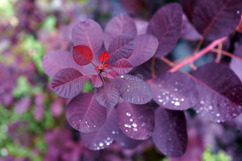 Cotinus Coggygria Royal Purple with Raindrops in garden royalty free stock photo