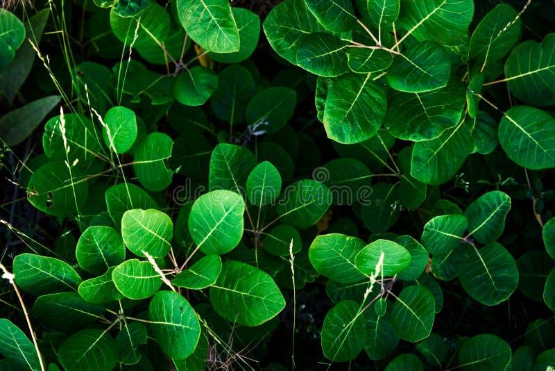 Cotinuscoggygria, rökträd, sidor för gräsplan för rökbuske arkivbild