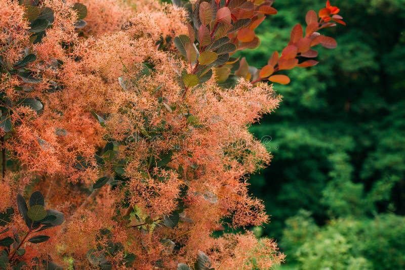 Cotinuscoggygria Scop Kungliga lilor Cotinus Coggygria, Syn Rh arkivbild