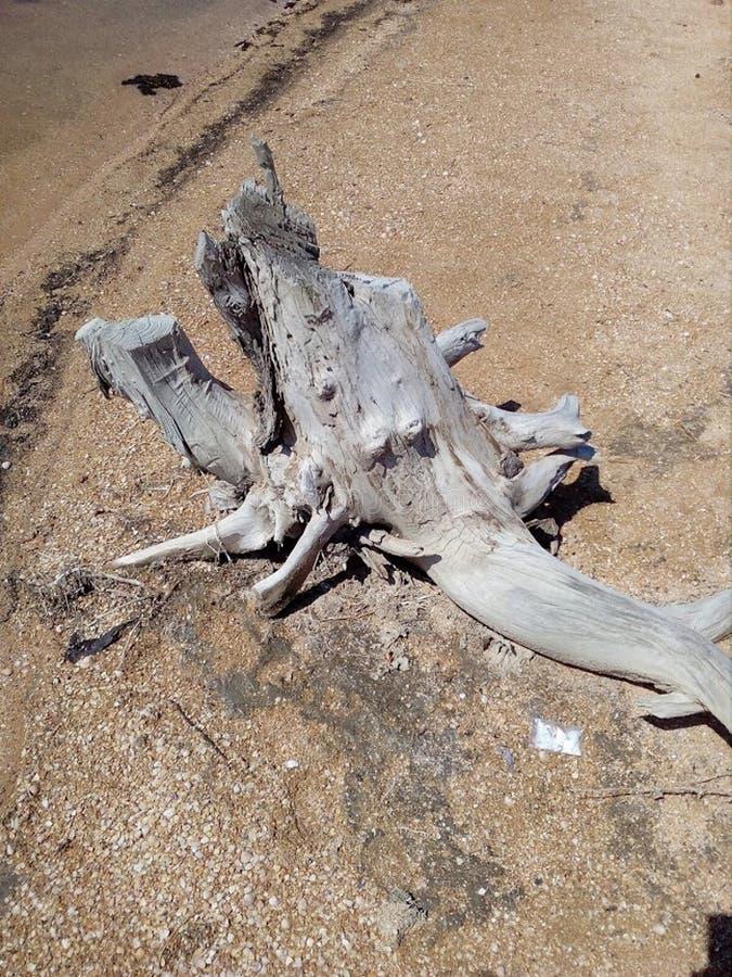Coto branco, uma parte de madeira lançada à costa cinzenta do rio em um Sandy Beach em Ucrânia fotografia de stock