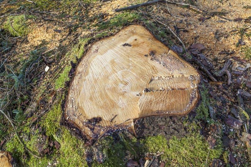 Coto de árvore conífera fotografia de stock