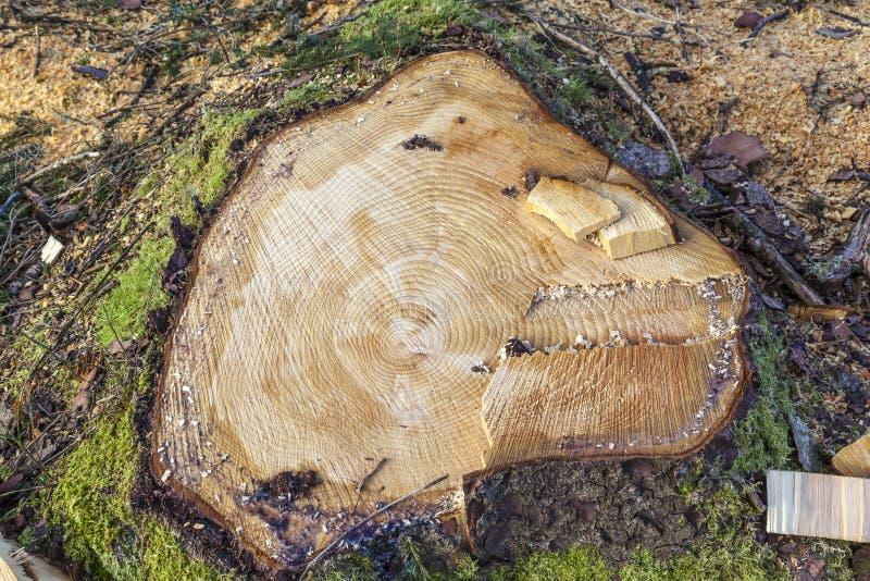 Coto de árvore conífera imagem de stock royalty free